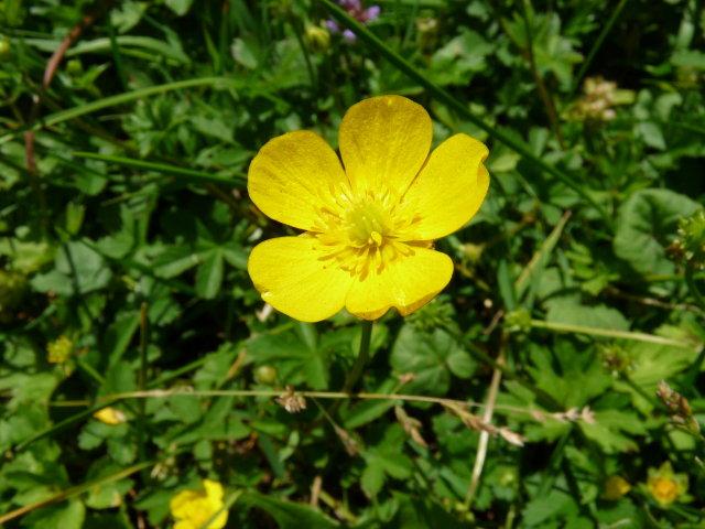 Renoncule rampante - Ranunculus repens
