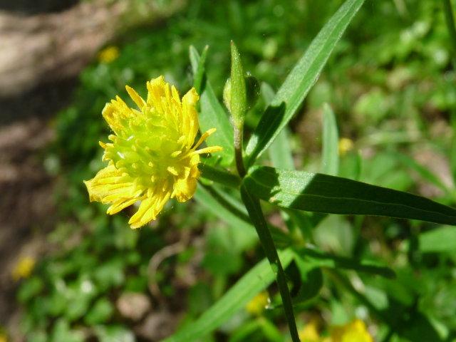 Renoncule tête d'or -  Ranunculus auricomus