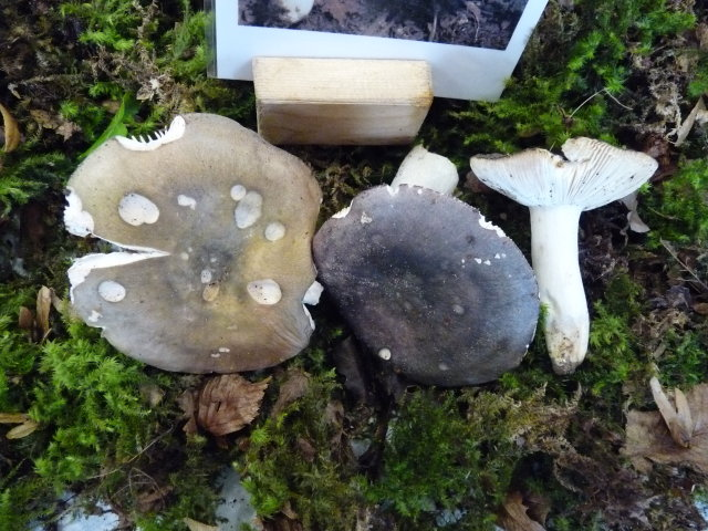 Russule charbonnière - Russula cyanoxantha