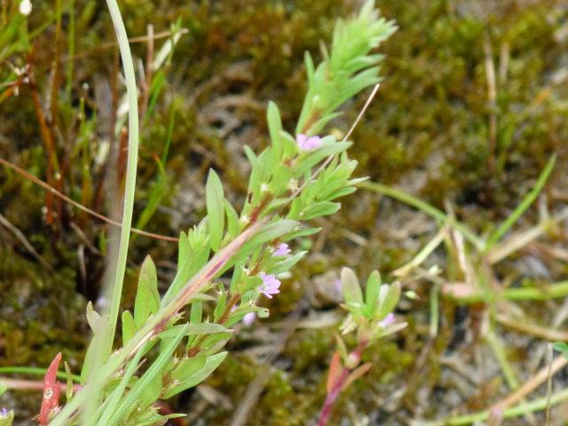 Salicaire à feuilles d'hysope - Lythrum hyssopifolia