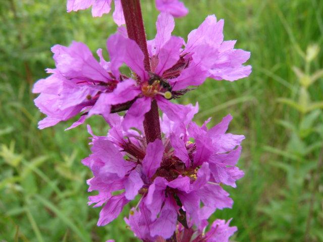 Salicaire commune - Lythrum salicaria (2)