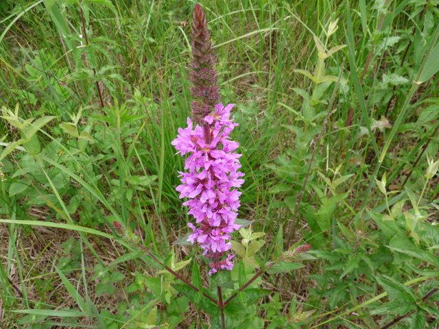 Salicaire commune - Lythrum salicaria (5)