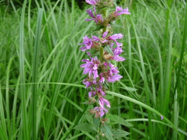 Salicaire commune - Lythrum salicaria (6)