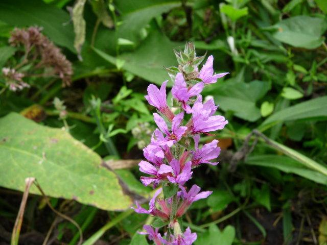 Salicaire commune - Lythrum salicaria