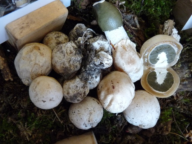 Satyre puant - Phallus impudicus (2)