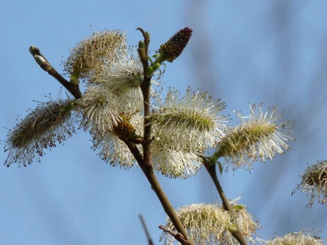 Saule Marsault - Salix caprea