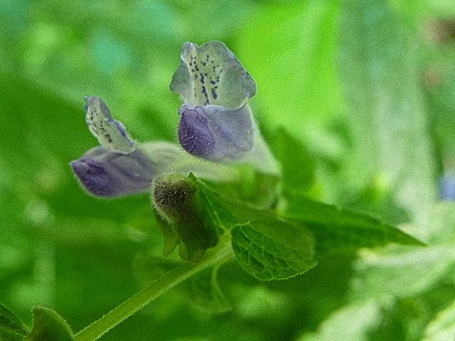 Scutellaire grande toque - Scutellaria galericulata