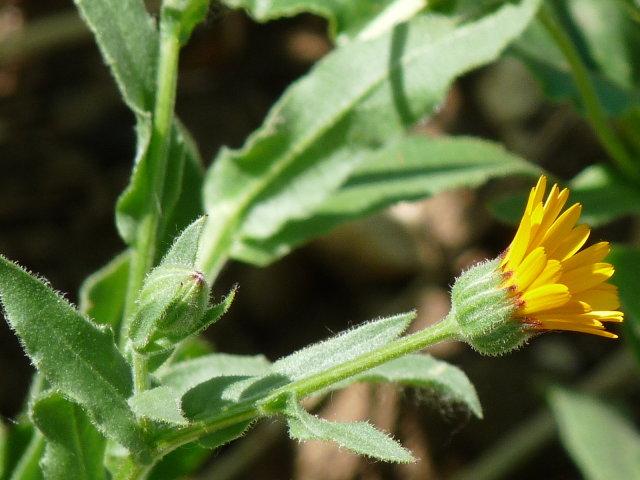 Souci des champs - Calendula arvensis (2)