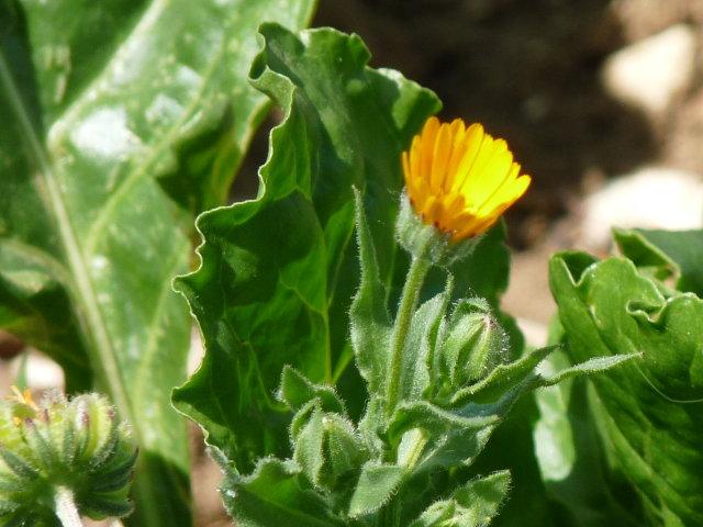 Souci des champs - Calendula arvensis