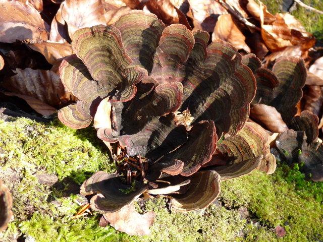 Stérée remarquable - Stereum insignitum