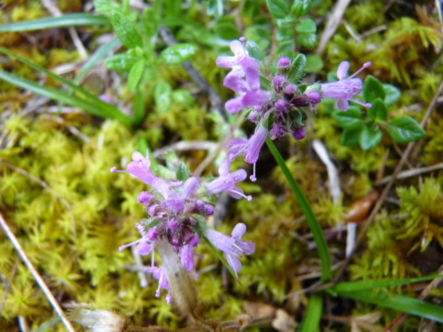 Thym serpolet - Thymus serpyllum
