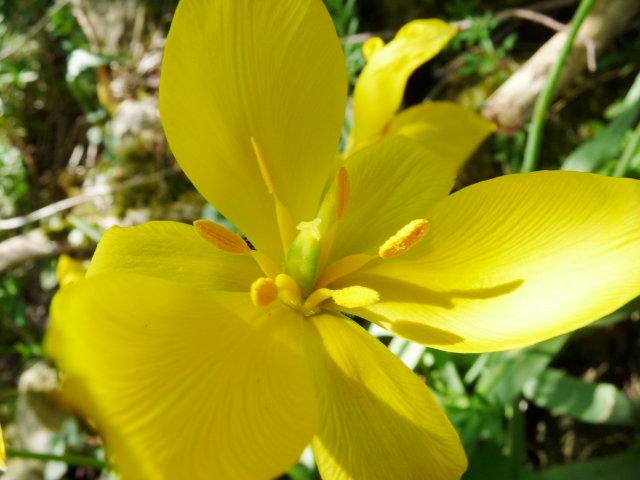 Tulipe sylvestre - Tulipa sylvestris (2)