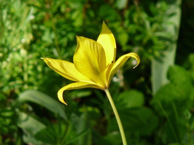 Tulipe sylvestre - Tulipa sylvestris (3)