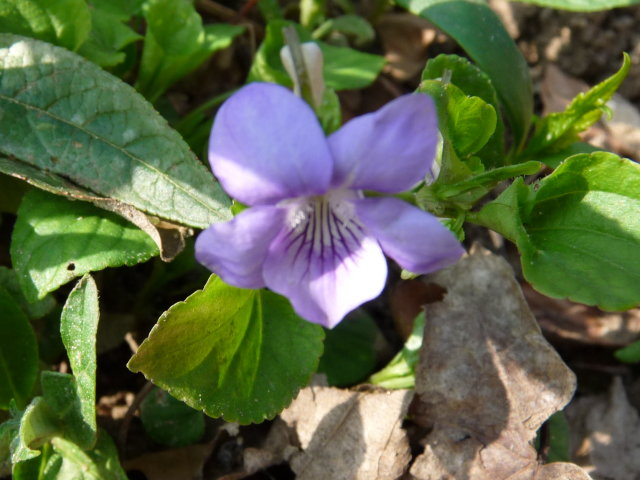 Violette de Rivin - Viola riviniana (4)