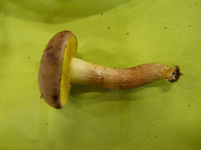 Xerocomus lanatus