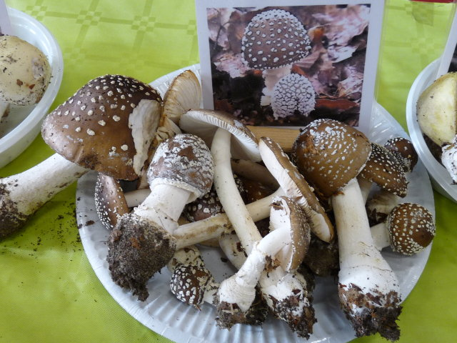Amanite panthère - Amanita pantherina