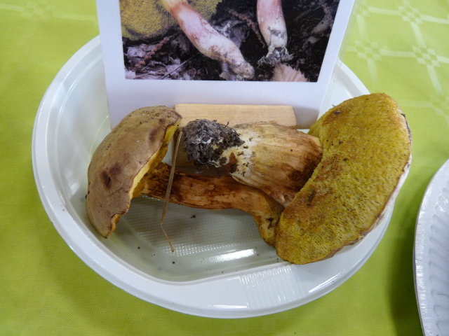 Bolet tomenteux - Xerocomus subtomentosus