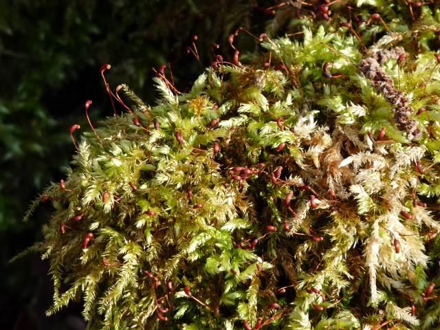 Brachythecium rutabulum