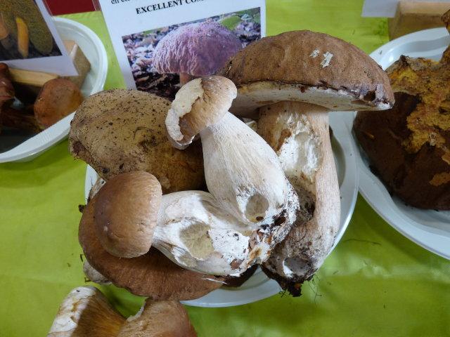 Cèpe de Bordeaux - Boletus edulis