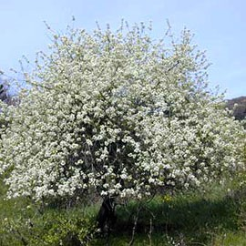 Cerisier de Sainte-Lucie (aspect général)