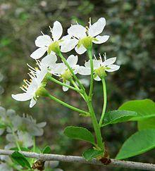 Cerisier de Ste Lucie (fleurs)