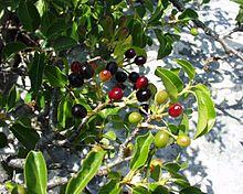 Cerisier de Ste Lucie (fruits)