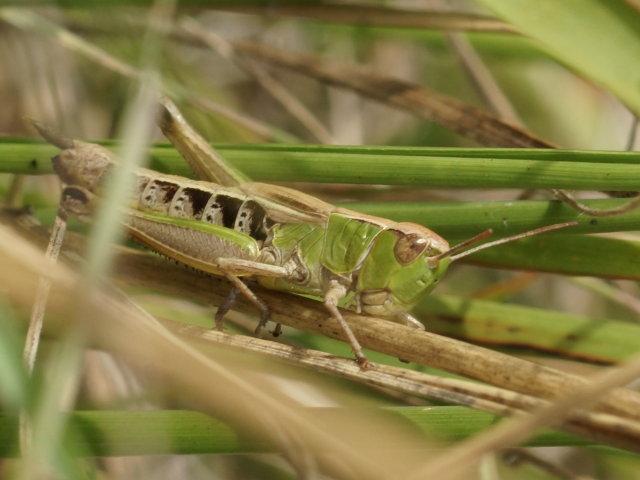 Criquet des patures (femelle) - Chorthippus parallelus