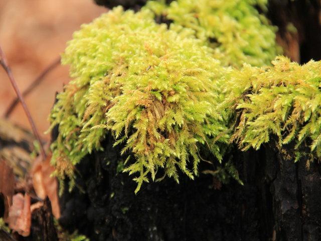 Eurhynchium stokesii