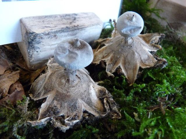 Géastre pectiné - Geastrum pectinatum