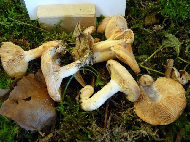 Lactaire à lait jaune - Lactarius chrysorrheus