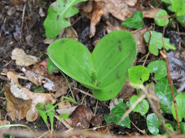 Listère à feuilles ovales - Neottia ovata