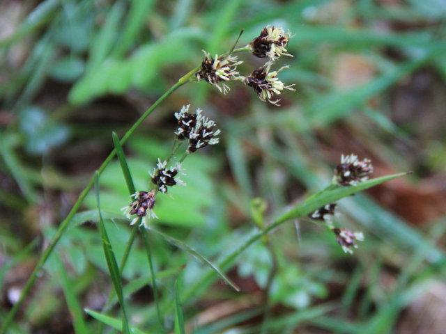 Luzule champêtre - Luzula campestris