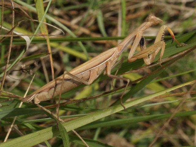 Mante religieuse (femelle) - Mantis religiosa