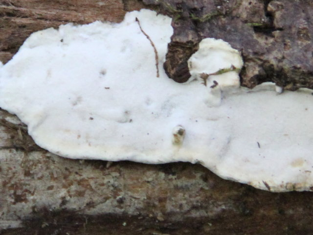Mérule papyracée - Meruliopsis corium