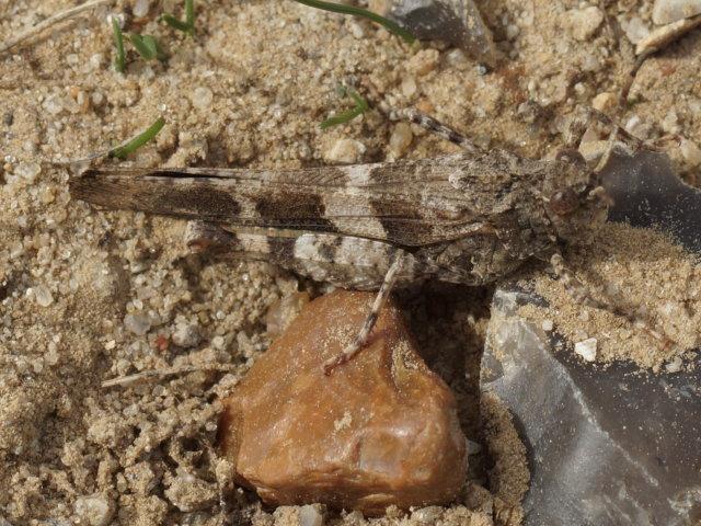 Oedipode turquoise (mâle) - Oedipoda caerulescens