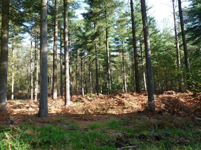 Pins weymouth - Pinus strobus