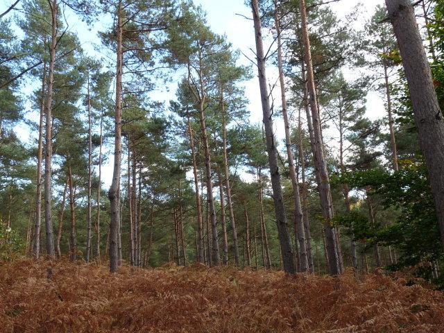 Pins sylvestres - Pinus sylvestris