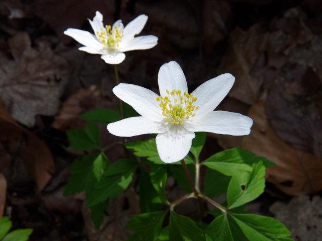 Anémone sylvie - Anemone nemorosa