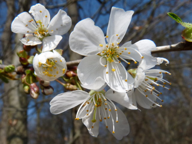 Merisier - Prunus avium