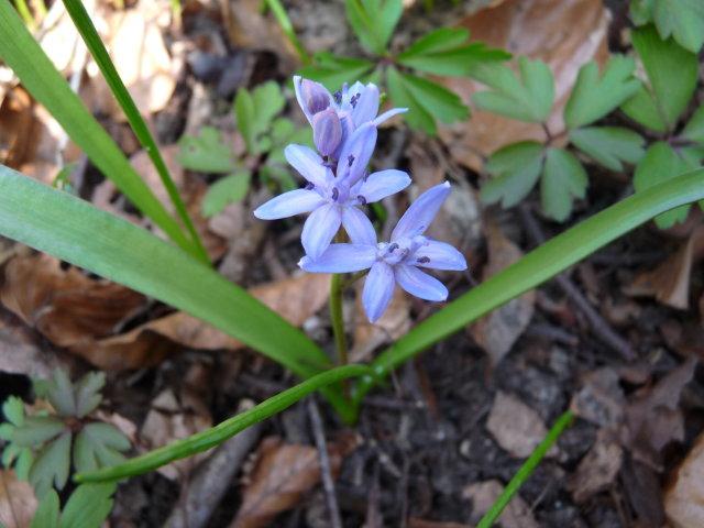 Scille à deux feuilles  -  Scilla bifolia