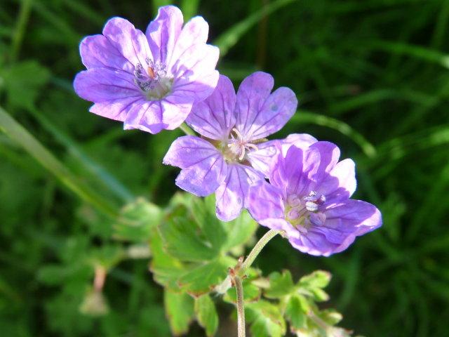 Géranium des Pyrénées - Geranium pyrenaicum