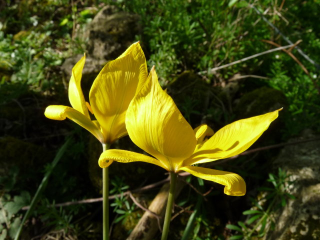 Tulipe sylvestre - Tulipa sylvestris
