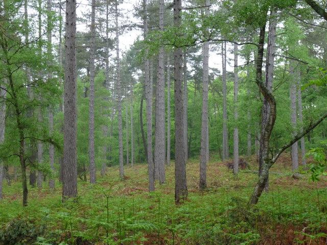 Pin Laricio de Corse - Pinus nigra var corsicana