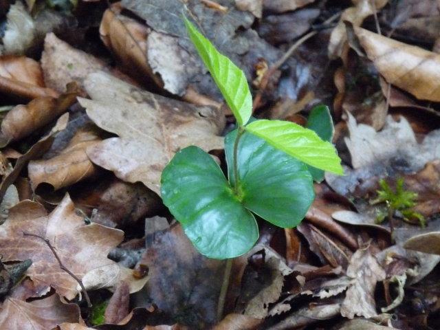 Hêtre - Fagus sylvatica (jeune pousse)