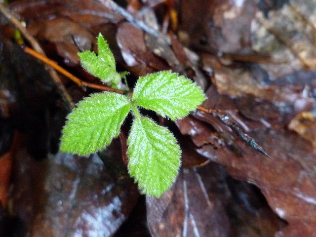 Charme commun - Carpinus betulus (jeune pousse)