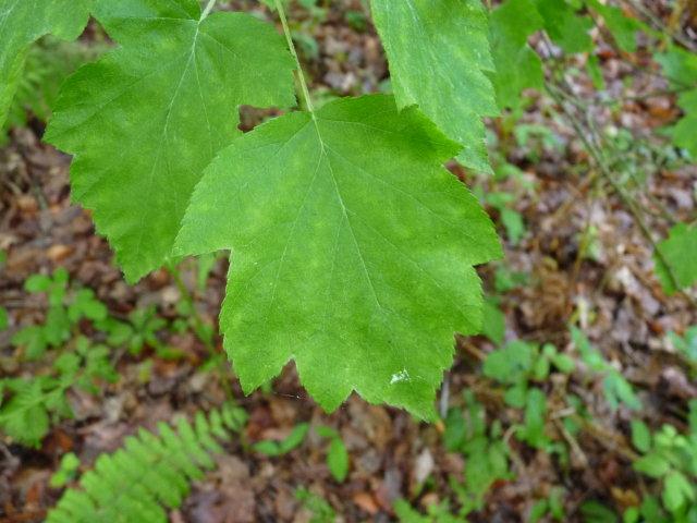 Alisier torminal - Sorbus torminalis