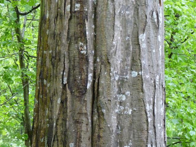 Charme commun - Carpinus betulus