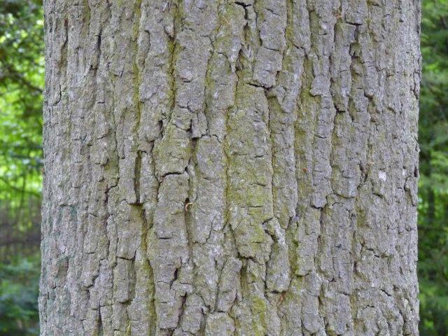 Chêne - Quercus