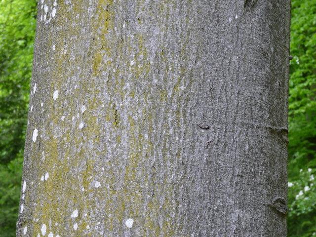Hêtre commun - Fagus sylvatica