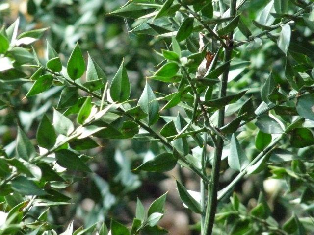 Fragon petit-houx - Ruscus aculeatus